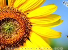 albina la floarea soarelui