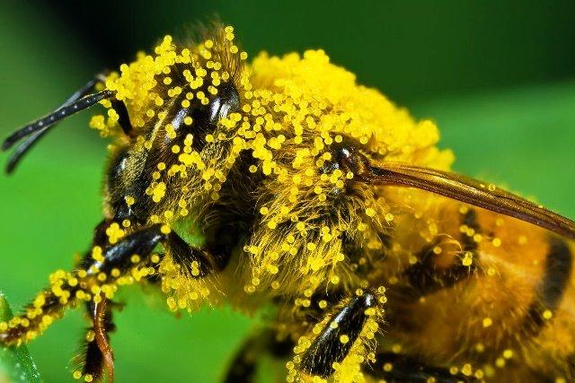 albina acoperita cu polen