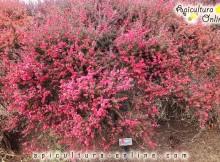 Arbore de Manuka