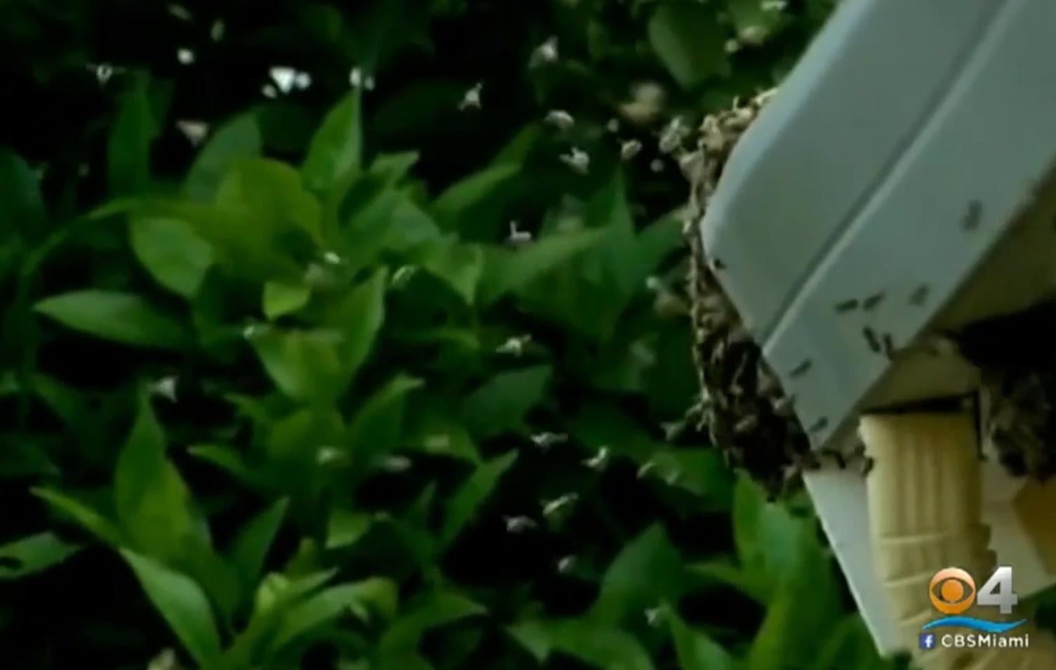 roiuri albine california